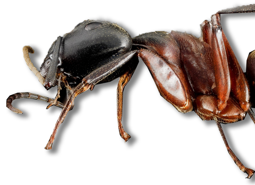 Ant Pest Control, Wakefield, Saugus, Melrose, Lynnfield, MA