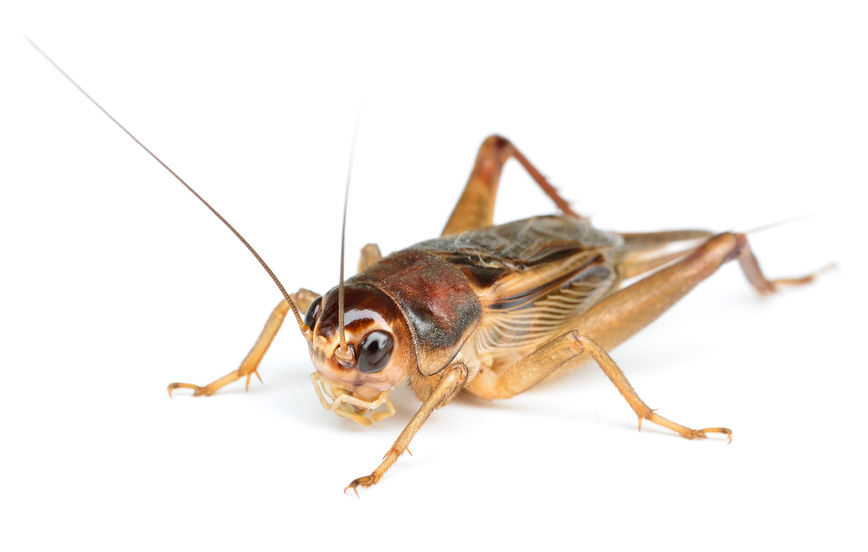 A Cricket's Strange Sexual Anatomy